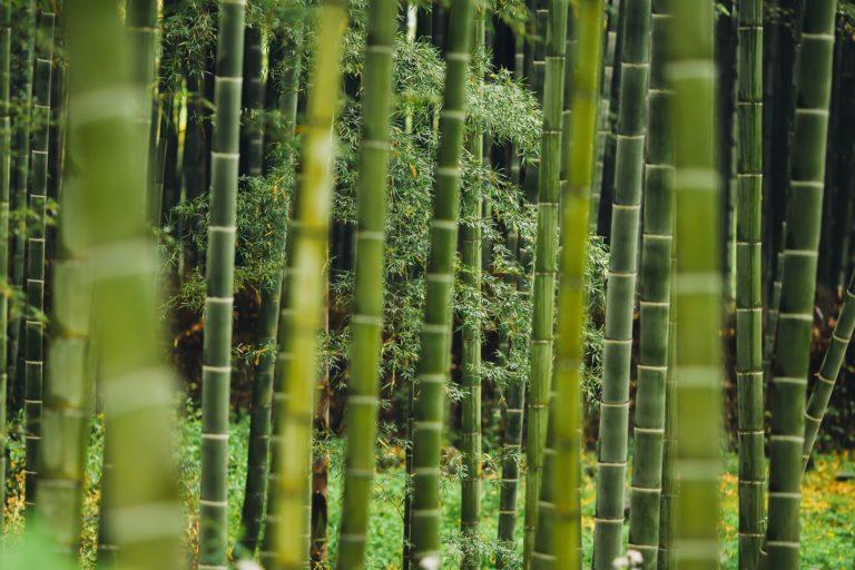 Alles was du über Bambus wissen musst